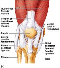 Muscular anatomy of knee