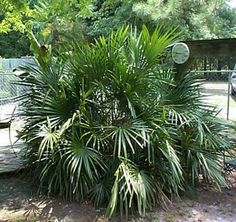 Great Resource for Eastern NC tropical palms hardy for zone 7 Tropical Garden Design, Tropical Backyard, Backyard Plants, Outdoor Plants, Tropical Plants, House Plants, Tropical Gardens, Coastal Landscaping, Front Yard Landscaping