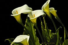 Chorus Of Calla Lilies Silently Sing To The  Breezes Of Spring
