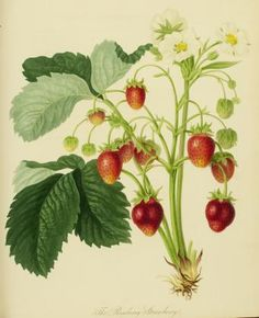 "The Roseberry Strawberry; Joseph Sabine, p. 381, 23.1 x 18.3 cm, ""Account and Description (with a figure) of a new Strawberry called the Raspberry, or Rose Strawberry""; September 2, 1817"