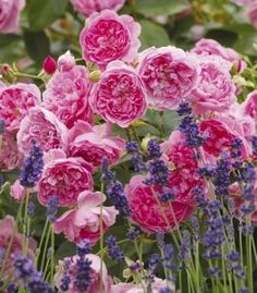 English Roses and lavender-growing lavender in OK. http://www.lavendervalleyacres.com/id20.html