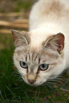 haring our love of cats with you! Cat care, cat toys, cat facts, and cat fun. I Love Cats, Crazy Cats, Cute Cats, Funny Cats, Cat Fun, Pretty Cats, Beautiful Cats, Pretty Kitty, Kittens Cutest