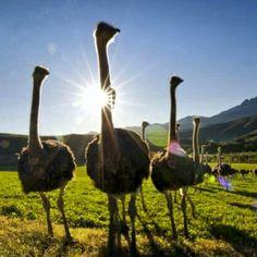 Ostrich Farm, South Africa. BelAfrique your personal travel planner - www.BelAfrique.com
