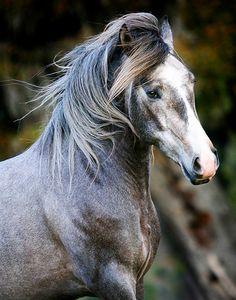Lusitano Stallion by Karen Kennedy Icon Studios Photography