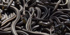 "The World's Largest Snake Gathering Looks Like An Ocean From Hell (Video) ""A sea of living spaghetti"" LOLZ"