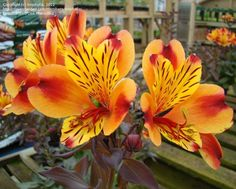 PlantFiles Pictures: Alstroemeria, Peruvian Lily, Lily of the Incas 'Indian Summer' (Alstroemeria) by kniphofia Brown Flowers, Orange Flowers, Spring Flowers, Lily Pictures, Peruvian Lilies, Summer Painting, Inca, My Secret Garden, Indian Summer