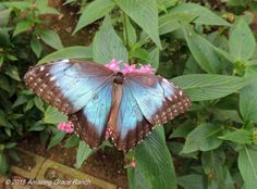 Blue Morpho from Costa Rica