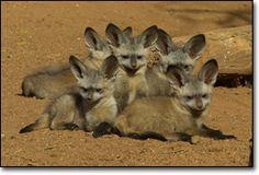 Google Image Result for http://www.sandiegozoo.org/animalbytes/images/bat-eared-fox-full-body2.jpg