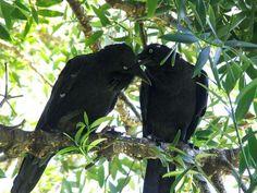 Australian Raven | Corvus coronoides photo