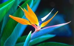 WALLPAPERS HD: Bird of Paradise