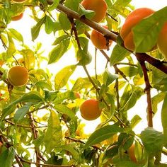 Peach Tree. Check out Morgan's review of E. Nesbit's The Railway Children here: http://chaptersandscenes.wordpress.com/2014/03/19/morgan-reviews-the-railway-children/