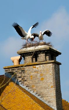 #Thrigby Hall Wildlife Gardens – Excitement as White #Storks Nest on Hall Chimney - We gave the storks a helping hand, by building a structure for their nest on the hall's front chimney, but they turned their back on our handiwork and have built their own nest on one of the rear stacks.