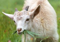 #agriculture #animal #animal photography #blur #close up #cute #domestic animal #eating #fur #goat #grass #horns #livestock #mammal #pasture #young
