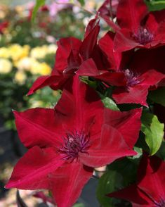 Boulevard® Nubia™ Clematis is free-flowering and hardy! This exceptionally dark red, compact, re-blooming clematis is excellent in large planters or as an entryway accent. Blooms prolifically from both leaf axils and stems, resulting in flowers from the ground up. An improvement over 'Rebecca'. New and exclusive for 2017. Deciduous. Zones 4-9