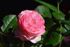 Vielä ruusua  Mary Ann