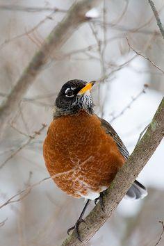 Small Birds, Colorful Birds, Love Birds, Beautiful Birds, Johnny Jump Up, American Robin, Bird Perch, Bird Drawings, All Gods Creatures
