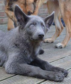 powder blue german shepherd - Google Search More