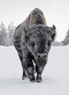 ~~snowy bison ~ Yellowstone by Ignacio Yufera~~
