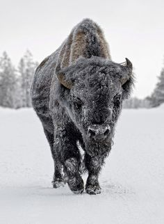 ~~snowy bison ~ Yellowstone by Ignacio Yufera~~