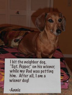 """I am a 'Wiener' Dog After all… We were having a friendly neighbourhood ping pong tournament with people and their dogs. Dad was petting the neighbour dog """"Sgt. Pepper"""" and Annie got jealous and she decided to bite him on his wiener. Funny Dachshund Pictures, Dachshund Funny, Cute Funny Dogs, Dachshund Puppies, Dachshund Love, Funny Animal Memes, Cute Puppies, Dachshunds, Weiner Dogs"""