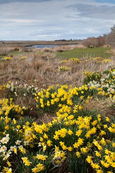 Daffodils on The Creeks Nantucket..love to be there...