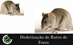 Dedetização de Ratos de Forro, solicite agora mesmo seu orçamento.