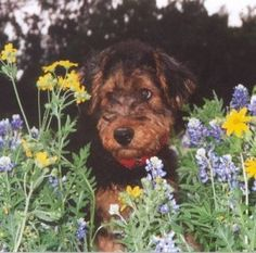 Airedale Terrier pup