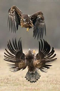 Best No Cost beautiful birds of prey Popular For a parrots regarding feed wedding photographer, the most important matter nearly all protest pertaining to The Eagles, Bald Eagles, Pretty Birds, Beautiful Birds, Animals Beautiful, All Birds, Birds Of Prey, Wildlife Photography, Animal Photography