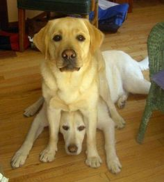yellow labs!!