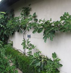 Espaliered fig tree… wish my fig tree had so much fruit! Only 1 fig this year,… - Modern