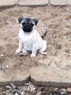 Lady Isabella just sitting around. Pug puppy!!