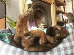 The Oldest Living Domestic Cat In The World's Border Terrier - For Border Terriers & Their PeopleBorder Terrier - For Border Terriers & Their People Border Terrier, All Dogs, I Love Dogs, Puppy Love, Cute Puppies, Dogs And Puppies, Cute Dogs, Doggies, Baby Animals
