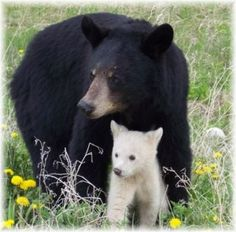 Spirit Bear - Ghost Bear - Kermode Bear. Three names for the same bear. Here we have a picture of one as a cub with its mother, who, along with the father, had the recessive gene that produced this white bear.