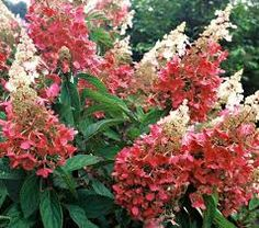 hydrangea paniculata wim's red - changes colour as the season progresses. H2.5m S2m. Flowering July to October. Good for shade too