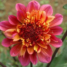 DAHLIA 'Floorinoor' Dahlia, Pink Perennials, Zinnias, Sun, Mexican Flowers, Shrubs, Bulbs, Plant, Dahlias