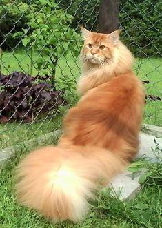 Super fluffy orange kitty