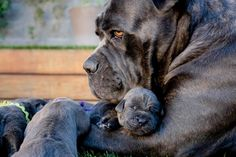 Awesome Collection of #Cane #Corso Puppies Ever