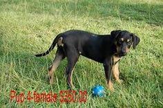catahoula-leopard-dog-puppy