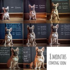 French Bulldog Puppy Growth Chart Collage.