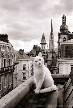 Paris Cat - love this! Cute Kittens, Cats And Kittens, Kittens Meowing, Ragdoll Kittens, Bengal Cats, Kittens Playing, Kitty Cats, Crazy Cat Lady, Funny Cats