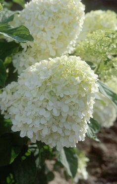 A panicle type hydrangea (Hydrangea paniculata), 'Limelight' is a shrub that gives and gives. The flower clusters vary from 8 to 12 inches long and open chartreuse, then fade to pink shades. Hydrangea Paniculata, Hortensia Hydrangea, Limelight Hydrangea, Hydrangeas, Lilacs, White Flowers, Beautiful Flowers, Green Flowers, Blooming Flowers