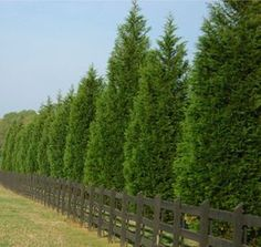 Privacy Trees: 4 Top Picks for the Season leyland-cypress Garden Shrubs, Garden Trees, Shade Garden, Fence Trees, Best Trees For Privacy, Evergreen Landscape, Privacy Landscaping, Acreage Landscaping, Backyard Privacy Trees
