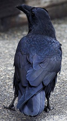 Raven 1 (by the_third_crow) good detail of wings folded and tail feathers