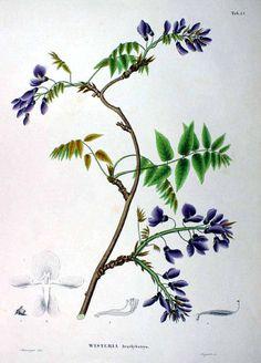 62887 Wisteria brachybotrys Siebold & Zucc. / Siebold, P.F. von, Zuccarini, J.G., Flora Japonica, t. 45 (1875) [Minsinger]