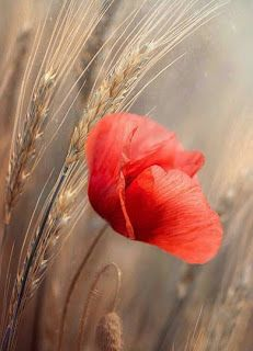 Poppy by Magda Bognar on I Love You Pictures, Nature Pictures, Beautiful World, Beautiful Images, Flower Art Drawing, Inspirational Artwork, Jolie Photo, Red Poppies, Aesthetic Wallpapers