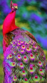 20 Colorful Animals That Will Make Your Jaw Drop Purple Peacock Peacock Images, Peacock Pictures, Bird Pictures, Colorful Pictures, Most Beautiful Birds, Pretty Birds, Stunningly Beautiful, Beautiful Images, Colorful Animals