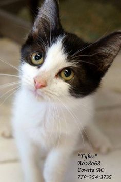 ***CODE RED*** Little TYBEE is CODE RED at Coweta County Animal Control, 91 Selt Road, Newnan, GA, and can be euthanized on Wednesday, October 8, 2014!!! TYBEE  is a beautiful 4 month old female kitten! Please call the number shown to save sweet TYBEE!