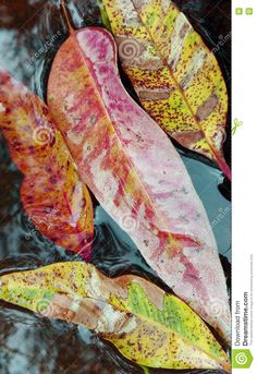 Photo about Colourful patterned gum (Eucalyptus) leaves floating in a creek bed with the reflection of trees in the water. Image of creek, forest, shapes - 72740301 Water Images, Eucalyptus Leaves, Floating In Water, Painted Leaves, Autumn Theme, Reflection, Trees, Shapes, Stock Photos