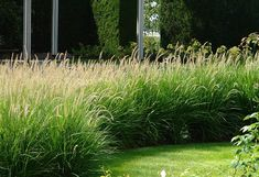 Grasses for Informal Garden Hedges – Knoll Gardens Lawn And Landscape, Landscape Design, Garden Design, Thuja, Dutch Gardens, Garden Hedges, Prairie Garden, Fountain Grass, Coastal Gardens