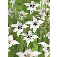 Abyssinian Gladioli - White and purple - 12 Pack
